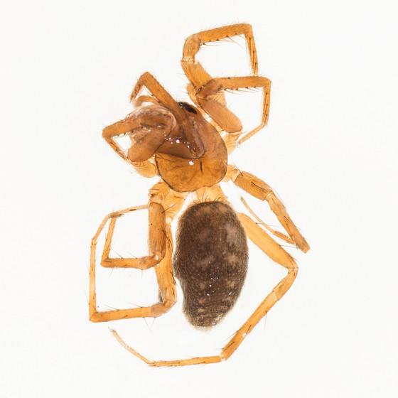 Ducati Sac Spider