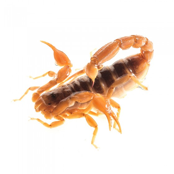 Northern Scorpion