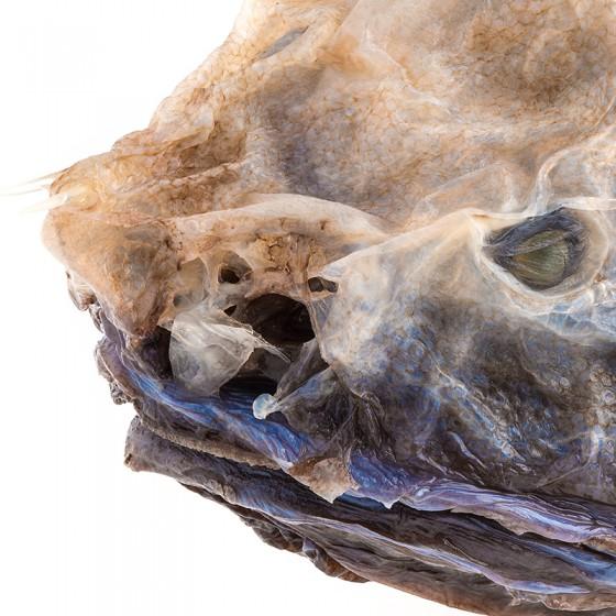Bony-eared Assfish
