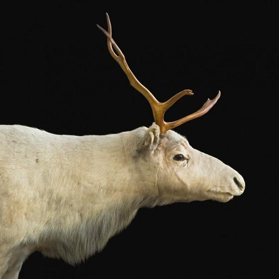Dawson's Caribou