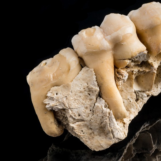 Short-faced Bear Tooth