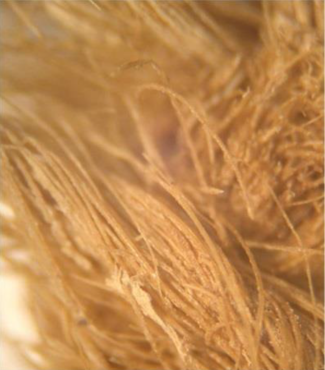 Microscopic View of masses of seed plume fibres in the piece of woven cloth (200X). (Grant Keddie photo).