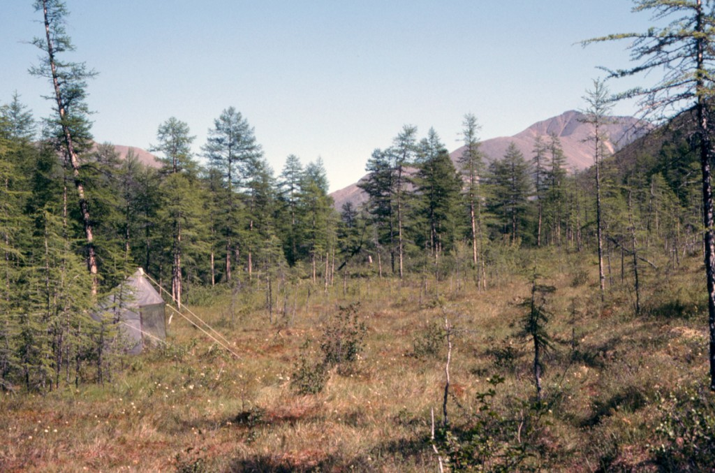 Figure 9.  Malaise trap for catching flying insects in a subalpine larch forest at Kontakt Field Station north of Magadan.