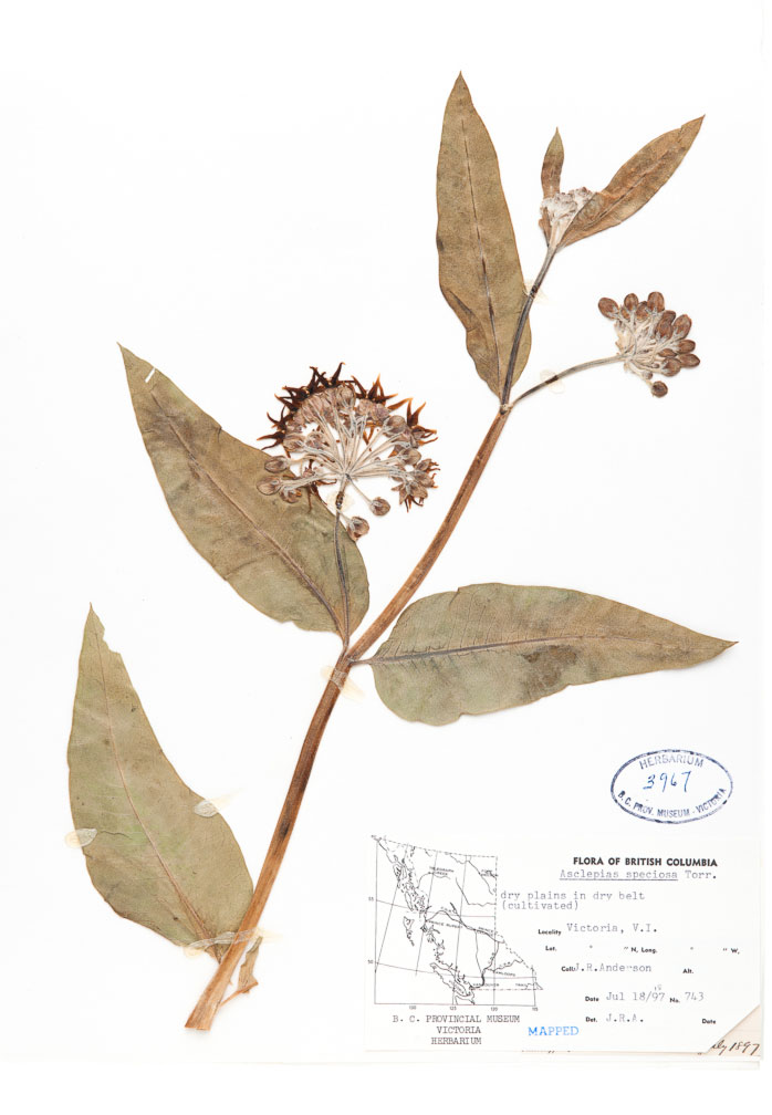 Showy milkweed (Asclepias speciosa) from the Royal BC Museum herbarium. Collected in Victoria, BC on July 18, 1897 by James R. Anderson, British Columbia's first deputy minister of Agriculture. V003967.