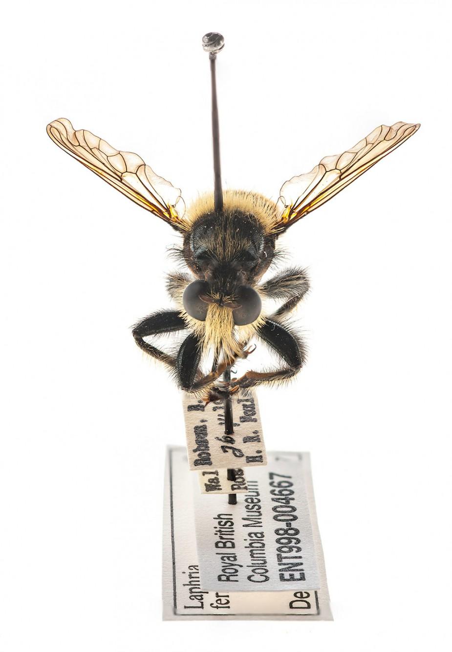 Laphria fernaldi (Order Diptera: Family Asilidae) - Bee-like Robber Fly