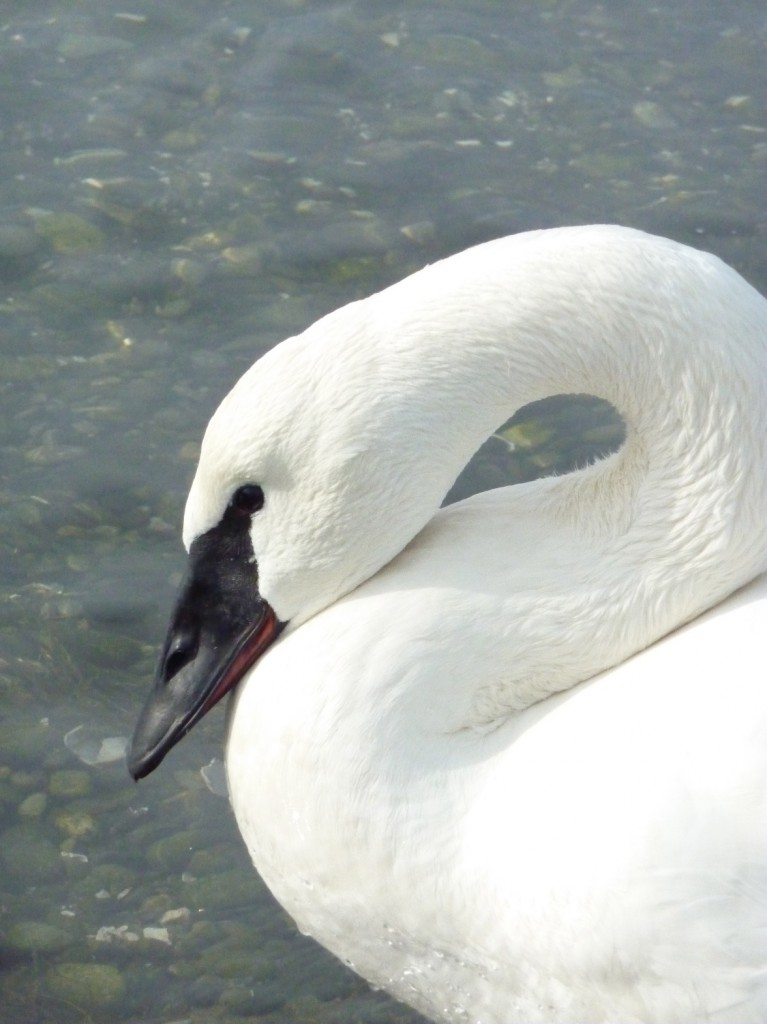 A living Trumpeter Swan like the one we collected